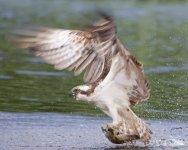 Raptors - Predatory Birds - Windows 7 Theme - 1.jpg
