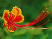 Pride of Barbados Flower - Windows 7 Wallpaper - Screenshot.jpg
