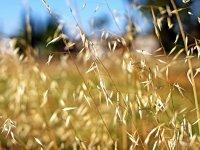 Wheat Close-up - Windows 7 Wallpaper - Screenshot.jpg
