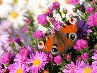 Butterflies - Windows 7 Theme - 2.jpg