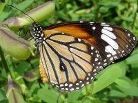 Butterflies - Windows 7 Theme - 5.jpg